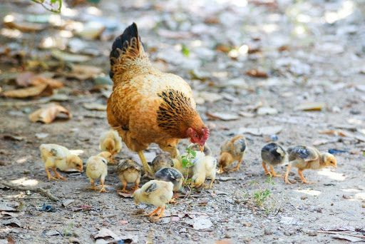 The Brief Guide That Makes Raising Backyard Chickens Super Simple